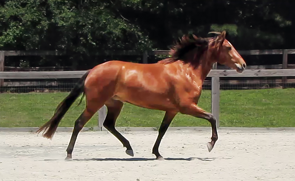 DEM Anabel bay Lusitano filly trotting