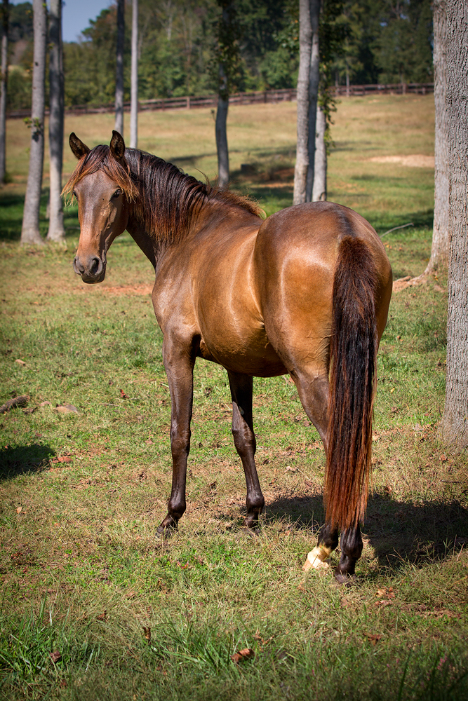 DEM Andromeda bay Lusitano mare standing in field