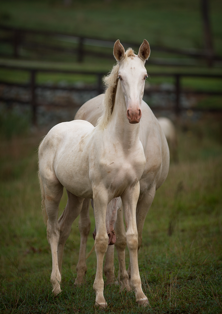 DEM Bonita Lusitano filly standing in a field