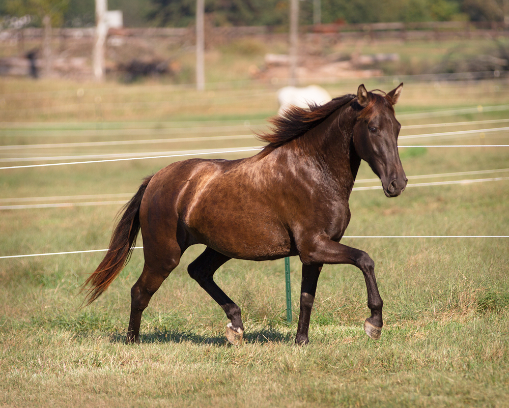 DEM Lexus smokey black Lusitano mare trotting in the sun