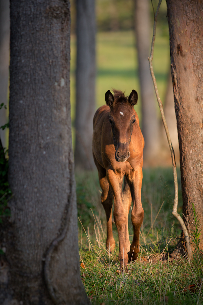 DEM Luna Bailaor bay Lusitano filly walking through the trees