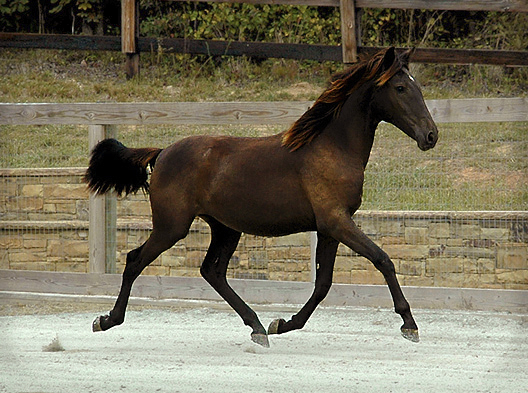 DEM Luna Bailaor bay Lusitano filly trotting