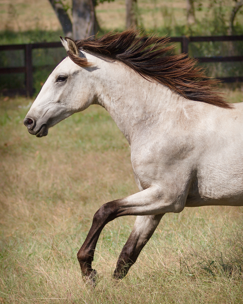 headshot of DEM Mojave gray Lusitano with leg outstretched