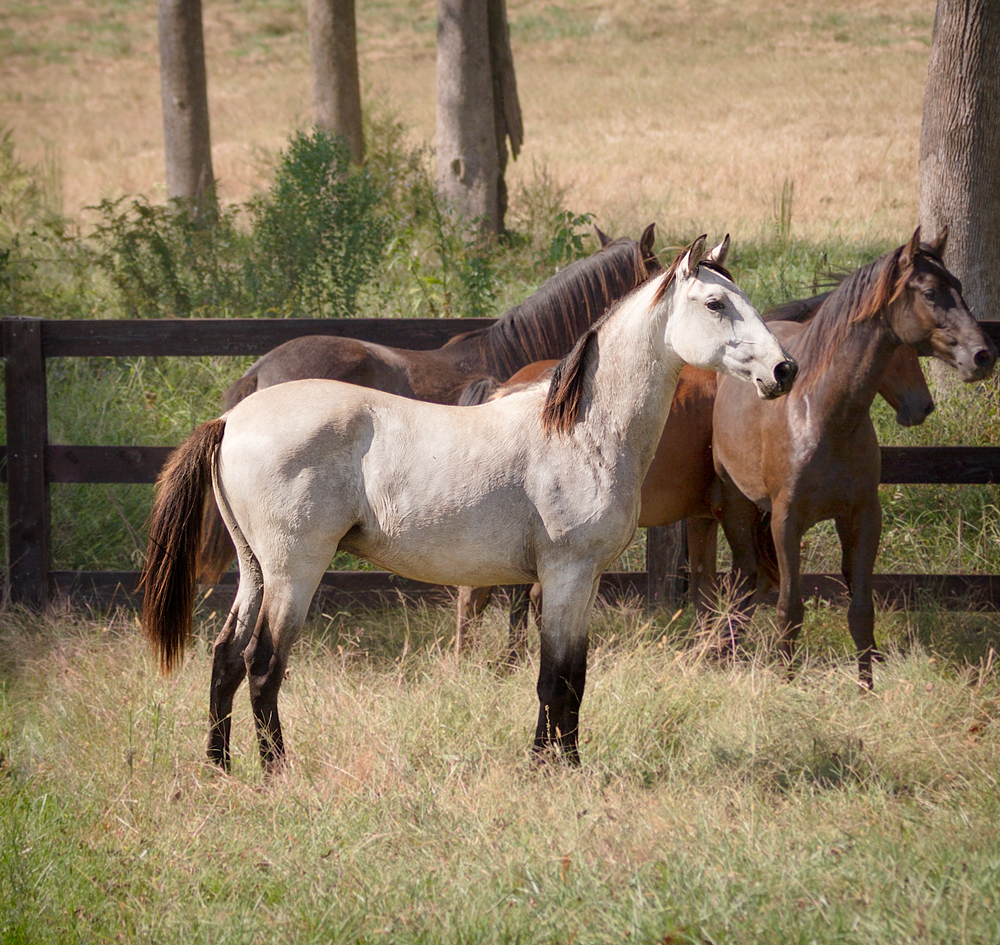 DEM Mojave gray Lusitano standing at the front of a group of colts