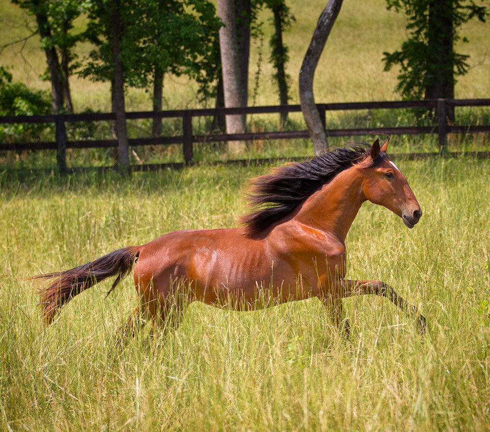 DEM Pei Ley bay Lusitano mare trotting through high grass