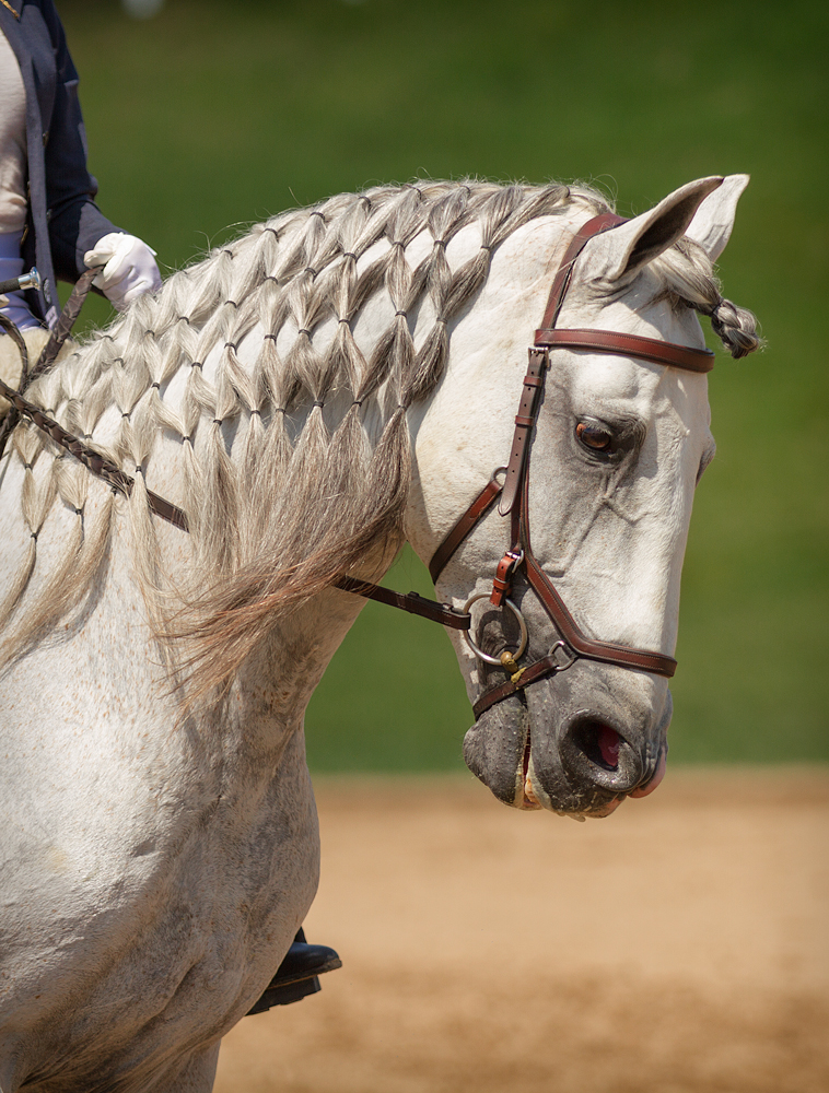 DEM Royalsstar grey Lusitano breeding stallion