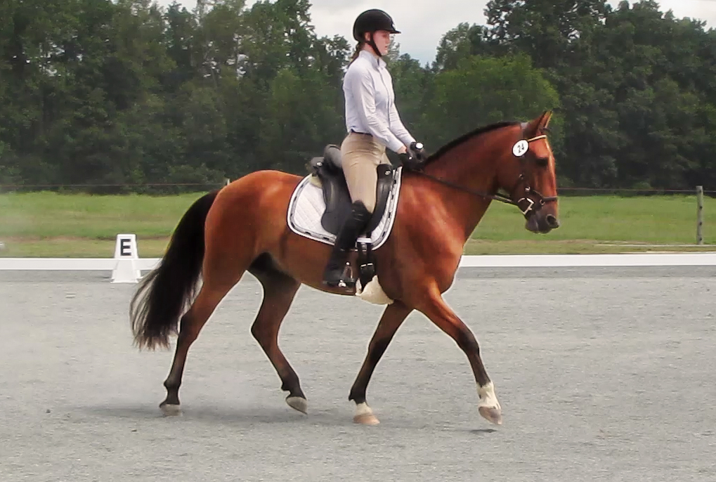 DEM Tarjo bay Lusitano gelding trotting during dressage competition