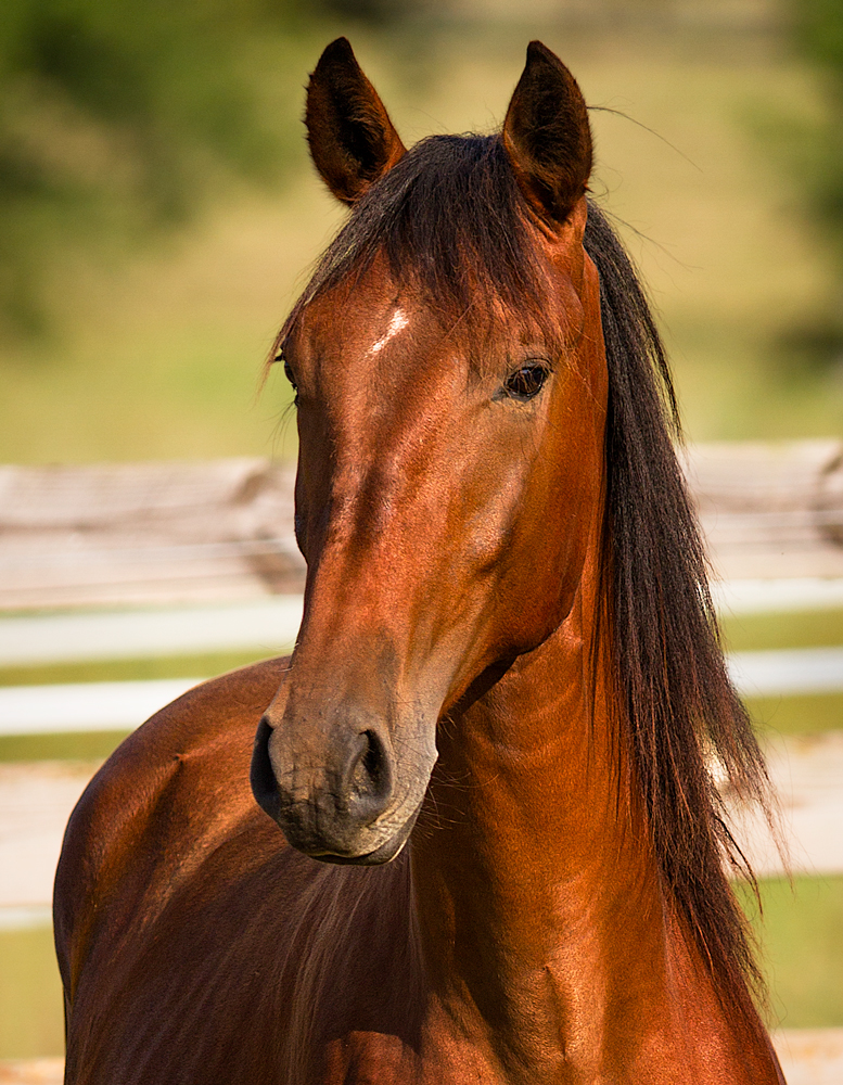 headshot of DEM Tarjo bay Lusitano colt