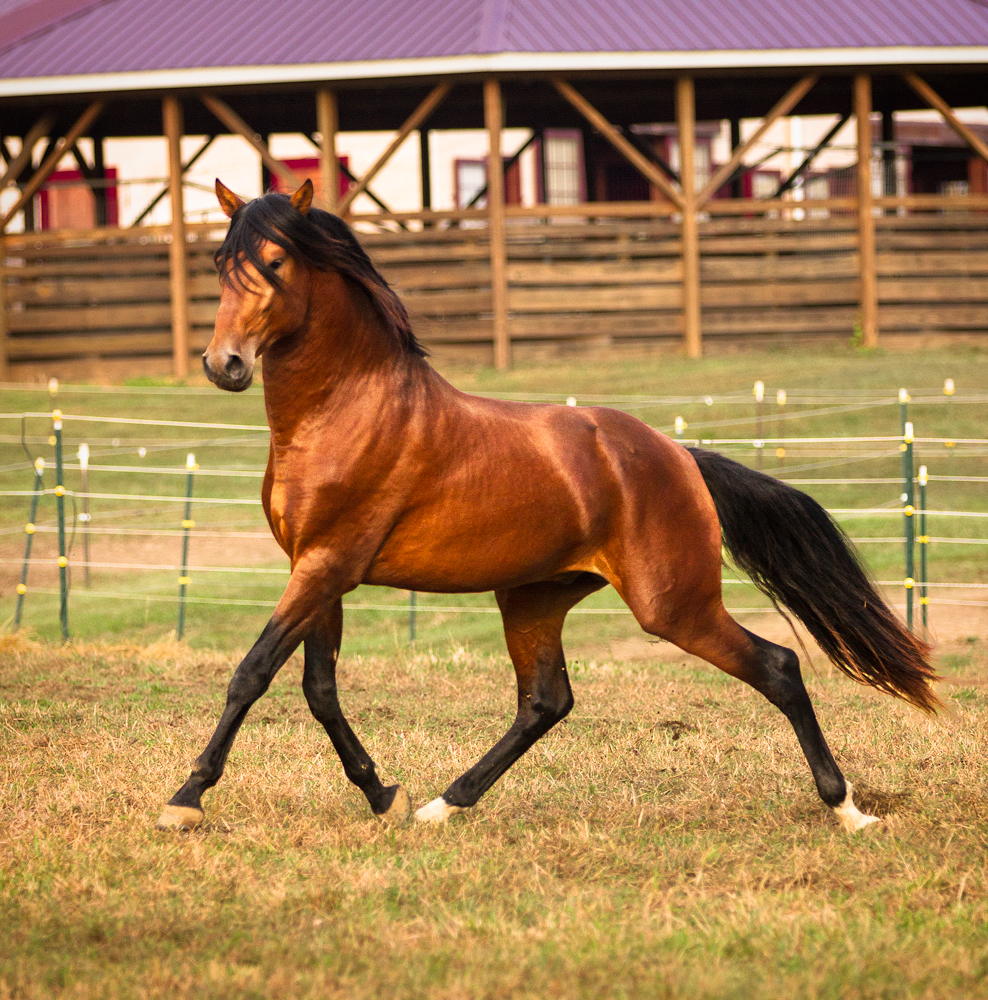 DEM Troubadour bay Lusitano stallion trotting with chest held high