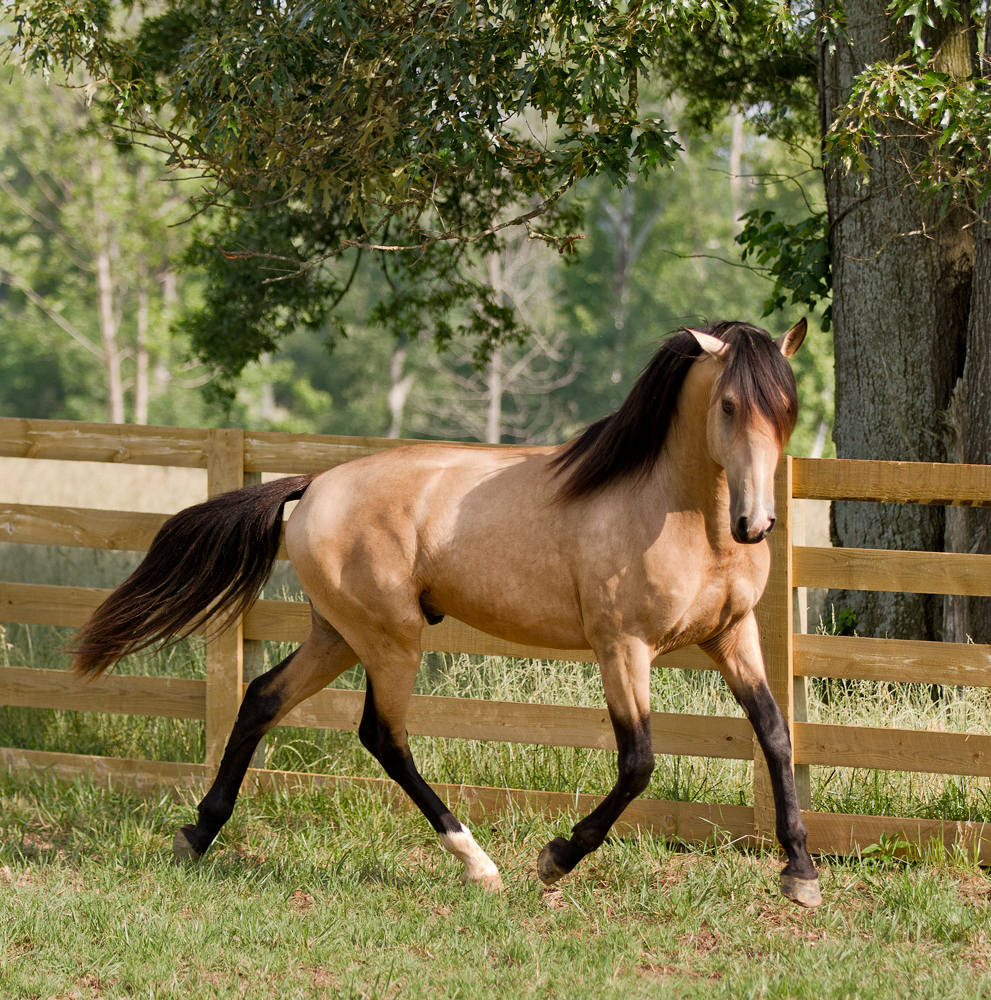 DEM Conquistador buckskin Lusitano stallion trotting across the grass with head held inward