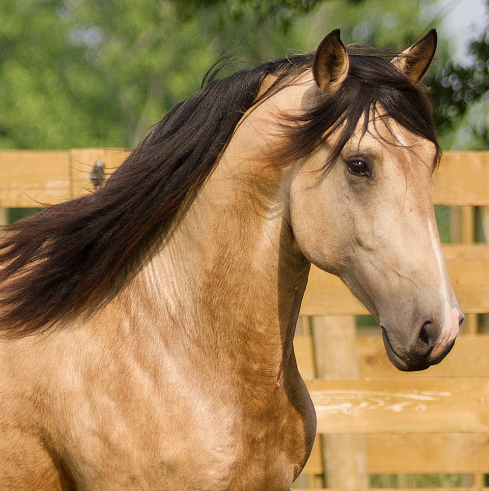 headshot of DEM Conquistador buckskin Lusitano stallion with ears perked up