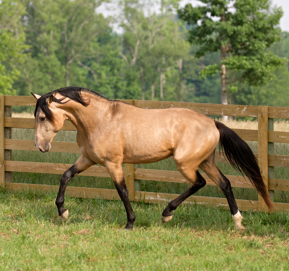 DEM Conquistador buckskin Lusitano stallion trotting with head held low