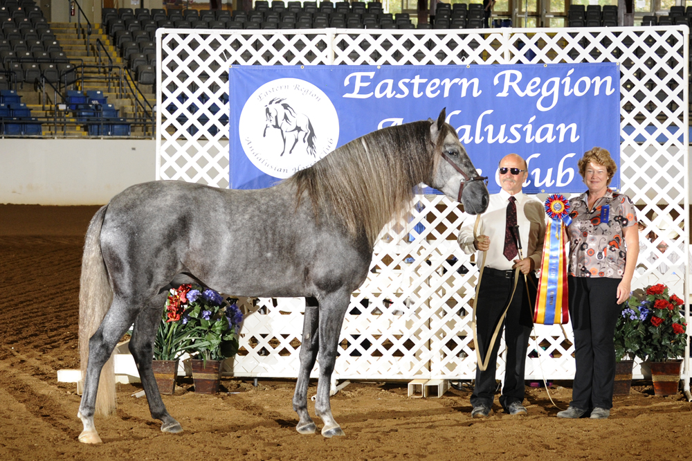 DEM Regalo Andalusian Stallion at the ERAHC Classic Horse Show in Sept 2010 Don-E-Mor
