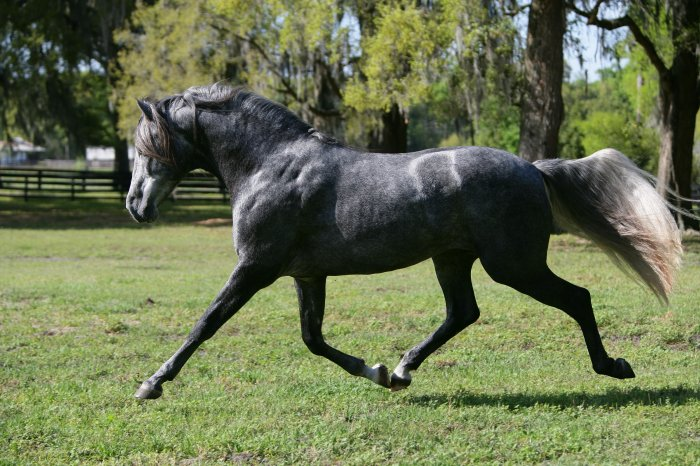 DEM Regalo Andalusian Stallion trotting Don-E-Mor