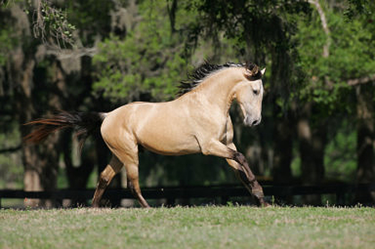 DEM Sereno SOLD, Sanguine Lusitano Light Cream Buckskin Gelding galloping up a hill