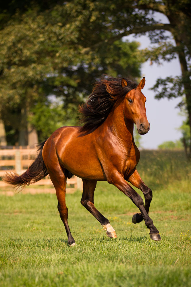 DEM Troubadour bay Lusitano stallion canter across field