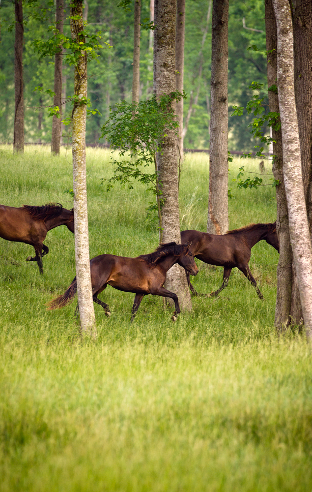 Horses running through trees at Don E Mor Lusitano Horse farm
